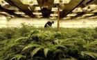 growing-marijuana-in-Seattle-599x270