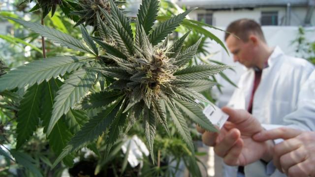 Cannabis-production1-640x360