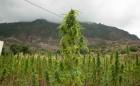 Morocco-cannabis